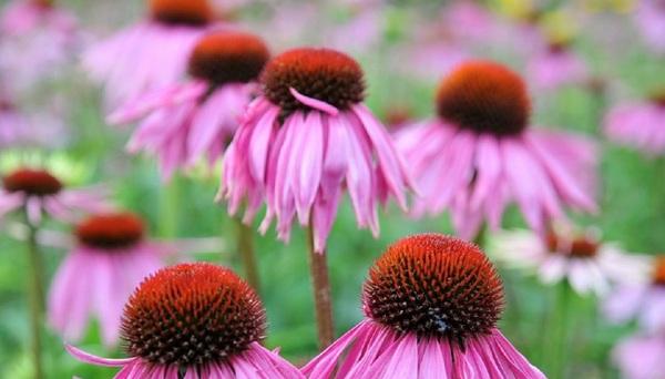 Cvetlične vodice - Balm Balm